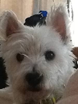Lost West Highland White Terrier in Wilmington, DE US