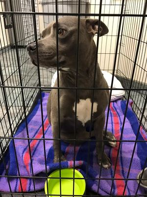 Found Pit Bull in Tampa, FL US