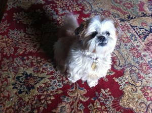 Safe Shih Tzu in Asbury, NJ US