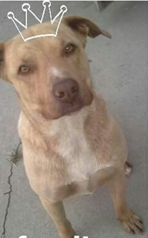 Safe Pit Bull in Ceres, CA US