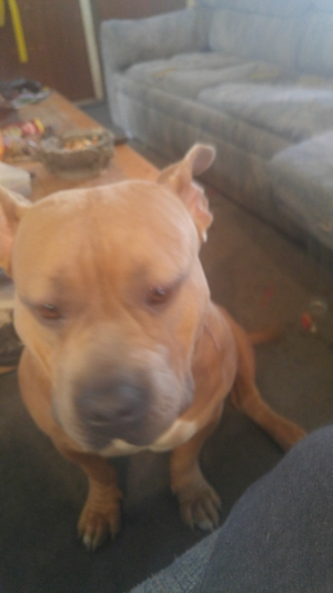 Safe Pit Bull in Denver, CO US