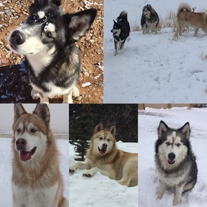 Safe Siberian Husky in Glenwood Springs, CO US