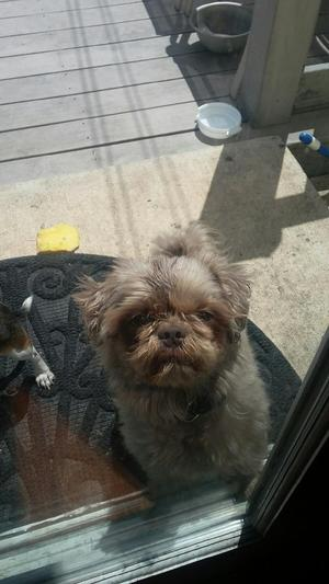 Safe Shih Tzu in Rahway, NJ US