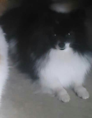 Safe Pomeranian in Brentwood, CA US