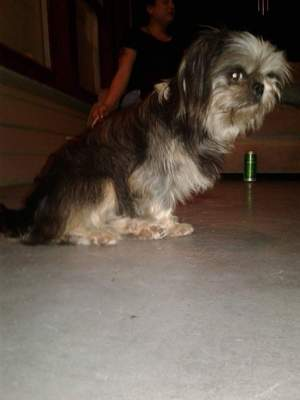 Safe Shih Tzu in Orlando, FL US
