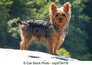 Safe Yorkshire Terrier in Denton, TX US