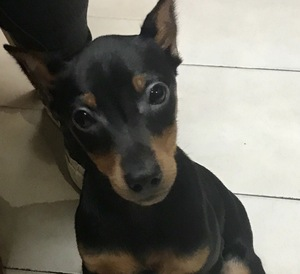 Safe Miniature Pinscher in Miami Beach, FL US