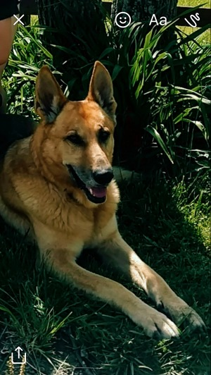 Safe German Shepherd Dog in Corinth, KY US