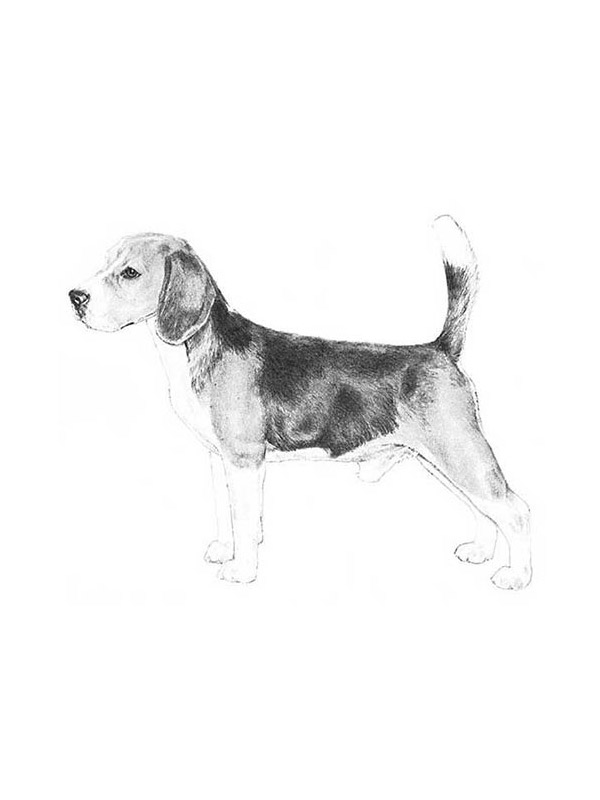Lost Beagle in Rixeyville, VA US