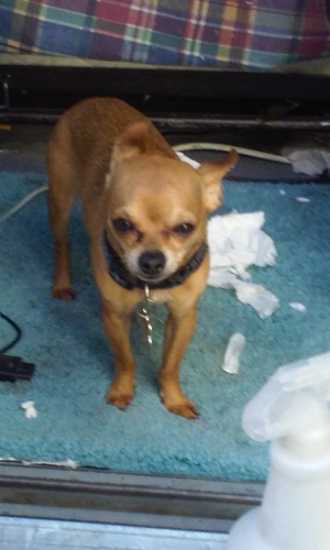 Lost Chihuahua in Lakewood, CA US