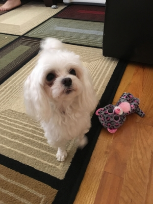 Safe Maltese in Flushing, NY US