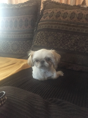 Found Shih Tzu in Albuquerque, NM US