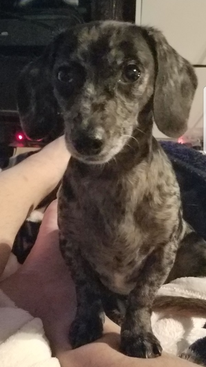 Safe Dachshund in San Antonio, TX US