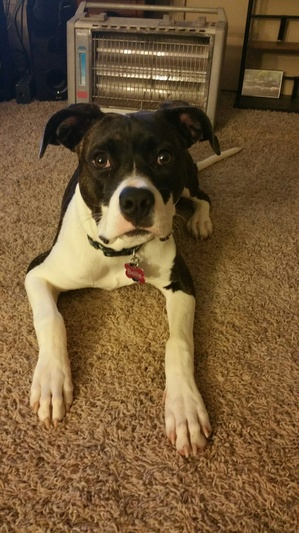 Safe Pit Bull in Oklahoma City, OK US