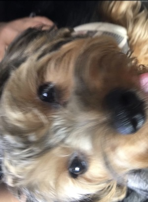 Found Yorkshire Terrier in Stockton, CA US