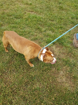 Found Pit Bull in Martinsburg, WV US
