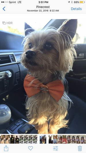 Safe Yorkshire Terrier in Miami, FL US