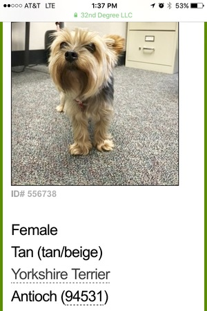 Safe Yorkshire Terrier in Antioch, CA US