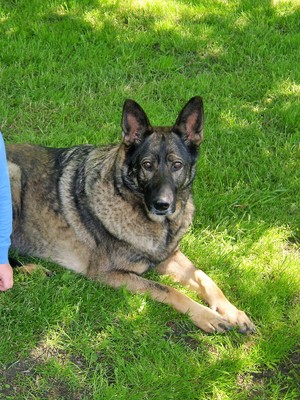 Safe German Shepherd Dog in Addison, NY US