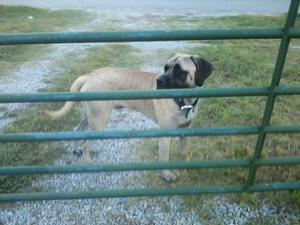 Safe Mastiff in Allen, TX US
