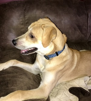 Safe Labrador Retriever in Kutztown, PA US