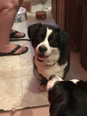 Safe Border Collie in Independence, MO US