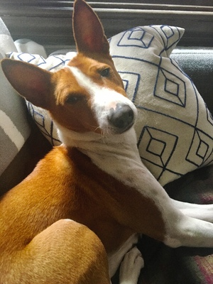 Safe Basenji in Denver, CO US