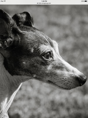Safe Italian Greyhound in Dallas, PA US