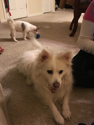 Safe American Eskimo Dog in Port Saint Lucie, FL US