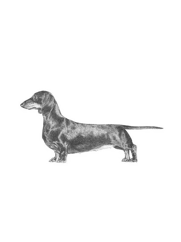 Safe Dachshund in Raleigh, NC US
