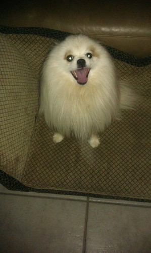 Safe Pomeranian in Antioch, CA US
