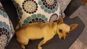 Found Chihuahua in Moreno Valley, CA US