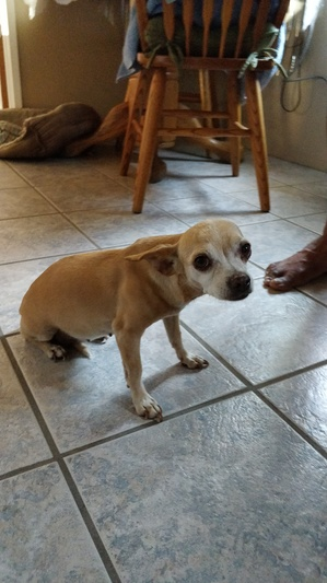 Found Chihuahua in Ontario, CA US
