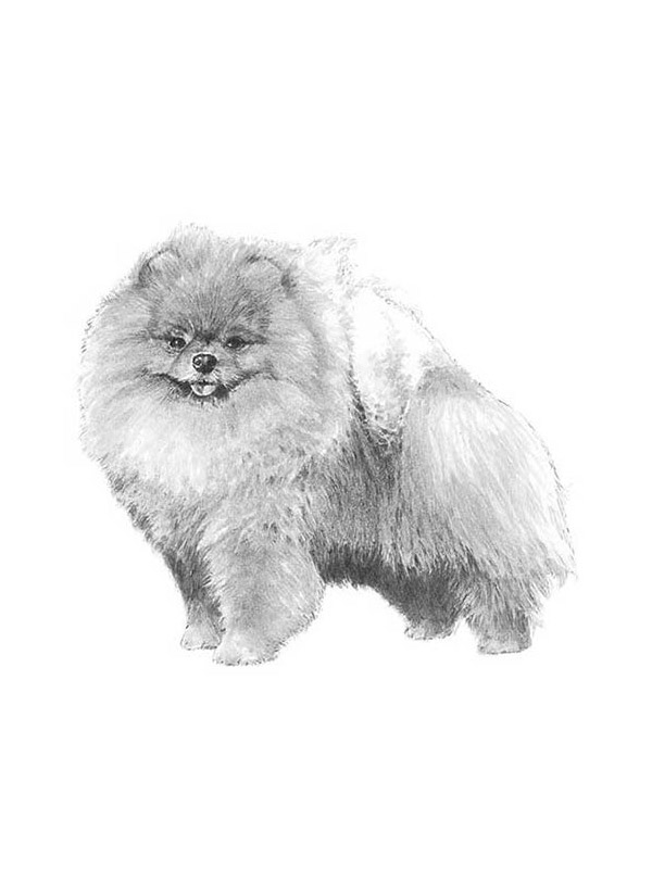 Safe Pomeranian in Chambersburg, PA US