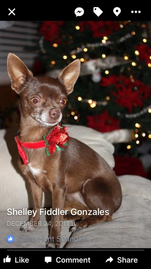 Lost Chihuahua in Brentwood, CA US