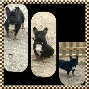 Lost French Bulldog in Groveland, FL US