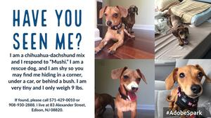 Lost Dachshund in Edison, NJ US