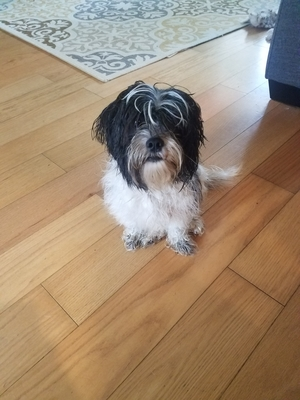 Found Shih Tzu in Orlando, FL US