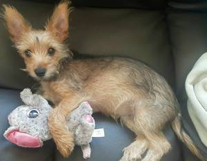 Safe Yorkshire Terrier in Salinas, CA US