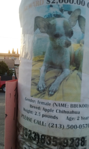 Lost Chihuahua in Los Angeles, CA US