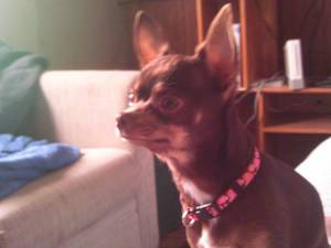 Lost Chihuahua in Panama City, FL US