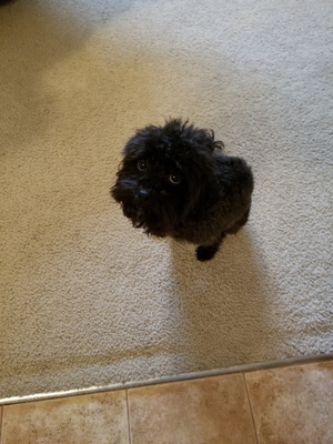 Found Lhasa Apso in Jacksonville, FL US