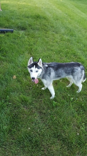 Safe Siberian Husky in Shrewsbury, PA US