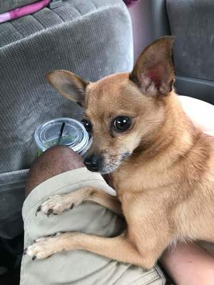 Safe Chihuahua in Mount Holly Springs, PA US