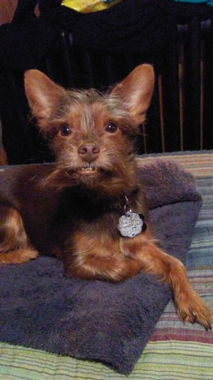 Lost Yorkshire Terrier in Baltimore, MD US