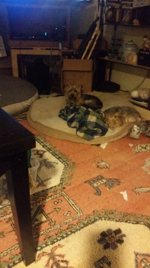 Found Yorkshire Terrier in Antioch, CA US