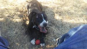 Safe Pit Bull in Oroville, CA US