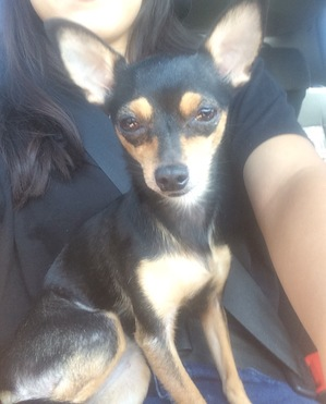 Found Chihuahua in La Puente, CA US
