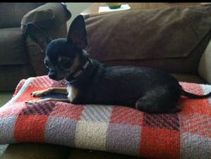Safe Chihuahua in Colton, CA US