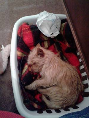 Safe Cairn Terrier in Conneaut, OH US